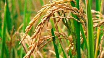 Aprobaron proyecto internacional para producción y comercialización de arroz