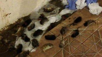 Por una invasión de ratas, cerraron accesos a lagos y balnearios de Neuquén
