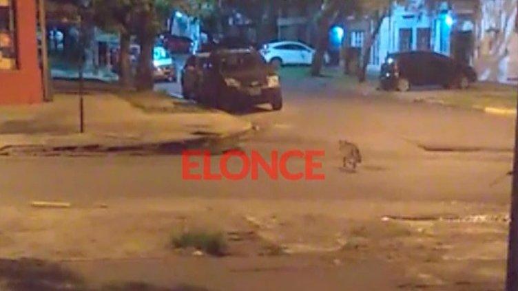 Buscan un zorro que fue visto esta madrugada en pleno centro de Paraná