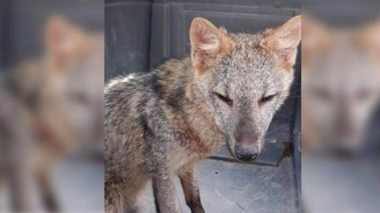 Fue hallado el zorro que deambulaba por Paraná: será devuelto a su hábitat