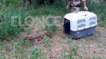 Liberaron en su hábitat al zorro que había sido hallado en Paraná